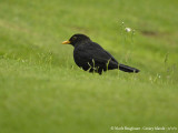 CANARIAN BLACKBIRD - TURDUS MERULA CABRERAE - MERLE NOIR
