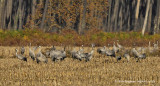 EURASIAN CRANE flock