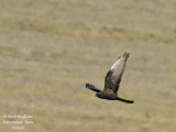 MONTAGUS HARRIER - DARK MORPH FEMALE