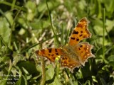 COMMA - POLYGONIA C-ALBUM - ROBERT-LE-DIABLE