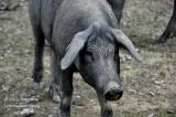 BLACK PIG - COCHON NOIR D'ESTREMADURE