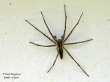 NURSERY WEB SPIDER - PISAURA MIRABILIS - PISAURE ADMIRABLE