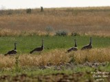 GREAT BUSTARD - OTIS TARDA - OUTARDE BARBUE