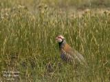 RED-LEGGED PARTRIDGE - ALECTORIS RUFA - PERDRIX ROUGE