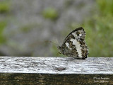 GREAT BANDED GRAYLING - BRINTESIA CIRCE - LE SILENE