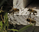 BEES AND HORNETS - ABEILLES ET FRELONS
