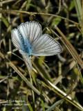 FURRY BLUE – POLYOMMATUS DOLUS - SABLE DE LA LUZERNE