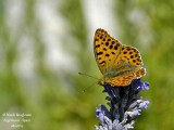 QUEEN OF SPAIN FRITILLARY – ISSORIA LATHONIA – PETIT NACRE