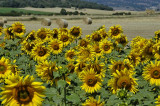 Sunflowers Cantabría