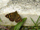 CANARY SPECKLED WOOD - PARARGE XIPHIOIDES - TIRCIS CANARIEN
