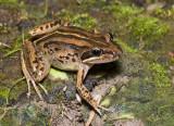 Limnodynastes peronii - striped marsh frog dorsal