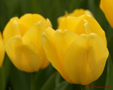 Tulips 03558 copy.jpg