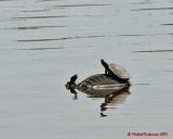 Turtles 03546 copy.jpg
