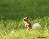 Grey Squirrel 06203 copy.jpg