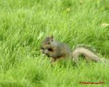 Grey Squirrel 06206 copy.jpg