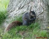 Grey Squirrel 06209 copy.jpg