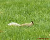 Grey Squirrel 06212 copy.jpg
