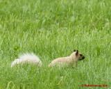 Grey Squirrel 06213 copy.jpg
