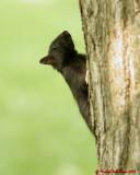 Grey Squirrel 06216 copy.jpg
