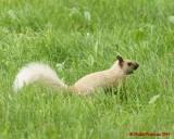 Grey Squirrel 06218 copy.jpg