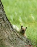 Grey Squirrel 06221 copy.jpg