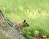Grey Squirrel 06222 copy.jpg