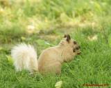 Grey Squirrel 06225 copy.jpg