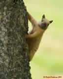 Grey Squirrel 06229 copy.jpg