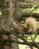 Grey Squirrel 06234 copy.jpg