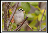 BRUANT À COURONNE BLANCHE, mâle  /  WHITE-CROWNED SPARROW, male       _MG_6349 a