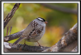 BRUANT À COURONNE BLANCHE, mâle  /  WHITE-CROWNED SPARROW, male       _MG_6309 a