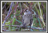 BRUANT À COURONNE BLANCHE, femelle   /  WHITE-CROWNED SPARROW, female    _MG_9033 a