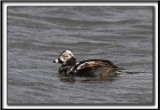 HARELDE KAKAWI,  mâle en plumage d'hiver changeant en plumage d'été   /    LONG-TAILED DUCK, male     _MG_1877 aa