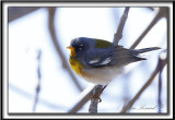 PARULINE À COLLIER , mâle au printemps    /    NORTHERN PARULA, male in spring time     _MG_4841 a