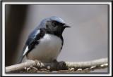 PARULINE BLEUE, mâle  /  BLACK-THROATED BLUE WARBLER, male    _MG_5424 a