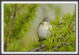PARULINE OBSCURE   /   TENESSEE WARBLER    _MG_9536 a