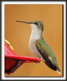 COLIBRI À GORGE RUBIS, femelle    /   RUBY-THROATED HUMMINGBIRD, female    _MG_0842