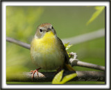 PARULINE MASQUÉE femelle  /  COMMON YELLOWTHROAT WARBLER, female     _MG_1550 a