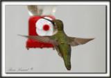 COLIBRI À GORGE RUBIS, femelle    /   RUBY-THROATED HUMMINGBIRD, female    _MG_0806 a