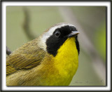 PARULINE MASQUÉE  mâle  /  COMMON YELLOWTHROAT WARBLER, male   _MG_2795 a 2