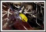 PARULINE À GORGE NOIRE, mâle   /   BLACK-THROATED GREEN WARBLER, male     _MG_5940