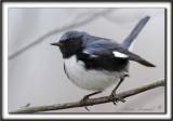 PARULINE BLEUE, mâle  /  BLACK-THROATED BLUE WARBLER, male      _MG_7488 a