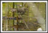 PARULINE DES RUISEAUX   /  NORTHERN  WATERTHRUSH    _MG_0239 a