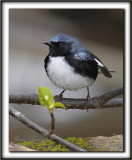 PARULINE BLEUE, mâle  /  BLACK-THROATED BLUE WARBLER, male      _MG_7497 a