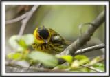 PARULINE TIGRÉE, mâle    /    CAPE MAY WARBLER, male     _MG_0248 a