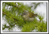 PARULINE OBSCURE   /   TENESSEE WARBLER      _MG_9601 a