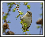 PARULINE OBSCURE   /   TENESSEE WARBLER      _MG_9808 a