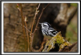 PARULINE NOIR ET BLANC   /    BLACK AND WHITE WARBLER     _MG_6165 a