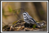 PARULINE NOIR ET BLANC   /    BLACK AND WHITE WARBLER     _MG_6138 a