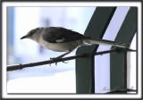 MOQUEUR POLYGLOTTE  /  NORTHERN MOCKINGBIRD     _MG_7060 a